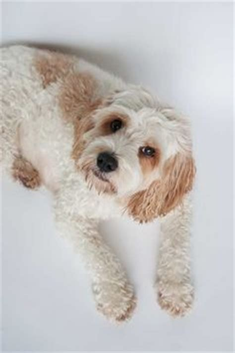 golden retriever fact sheet cavoodle on poodle mix doodle and poodle