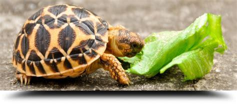 alimentazione tartarughe di terra piccole tartarughe terrestri