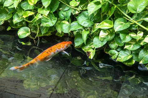 Schwimmteich Mit Fischen schwimmteich mit fischen 187 k eine gute idee