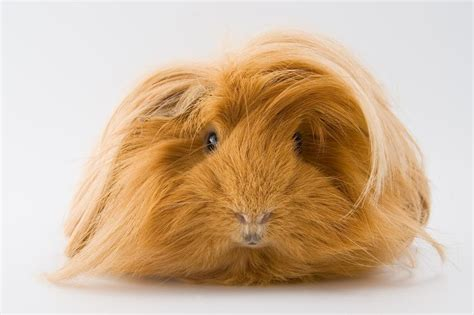 guinea pig colors guinea pig breeds hair types and colors