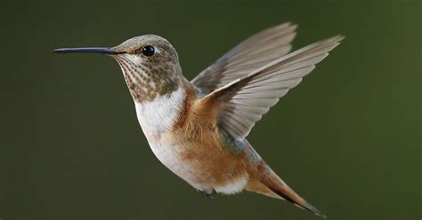 stokes birding blog rare rufous hummingbird in nh now