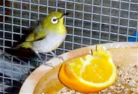 Harga Pakan Burung Trucuk tips uh memilih burung pleci ombyokan hobi burung kicau