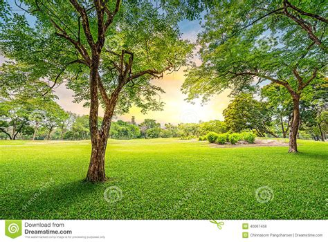 golf tree tree in golf course stock photo image 40067458