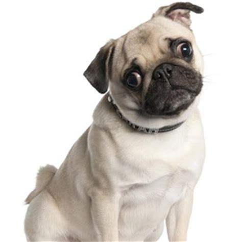 pug puppies hawaii app pug wallpapers apk for kindle android apk apps for