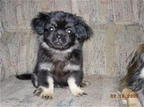 tibetan spaniel puppies sale tibetan spaniel puppies for sale