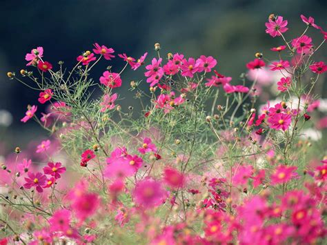 colorful cosmos flowers wallpaper wallpaper wide hd