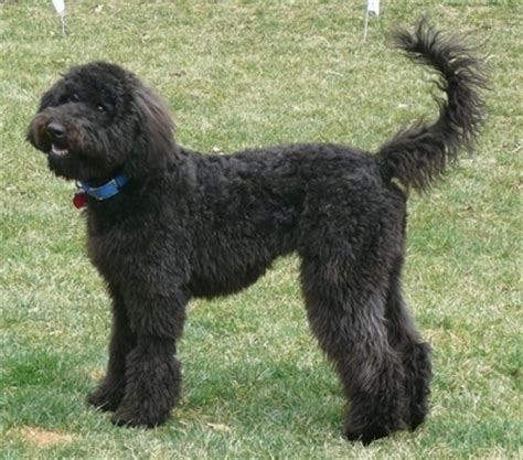 poodle terrier mix lifespan whoodle breed pictures wheaten terrier poodle hybrid