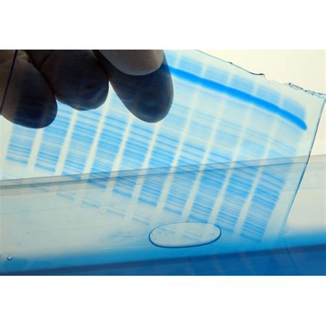 stain polyacrylamide gels rapidstain  biosciences