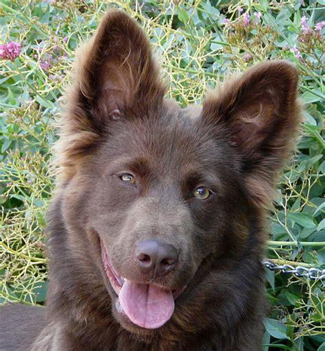 brown german shepherd puppies labs and buddies rescue