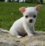 Chihuahua characteristics applehead teacup deer