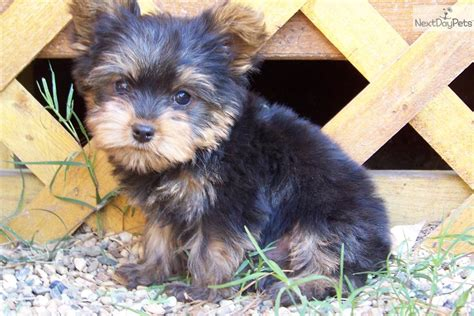 corkie puppies for sale terrier yorkie puppy for sale near texarkana arkansas c578a80b 3981