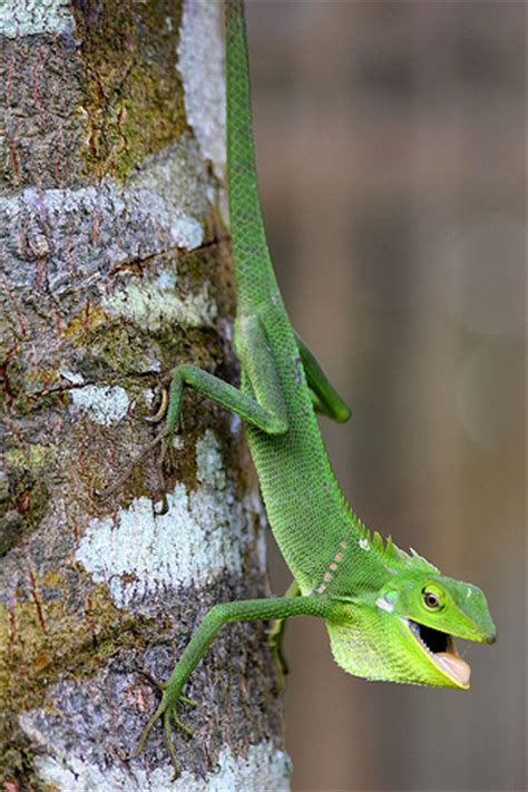 color changing lizard flickr photo