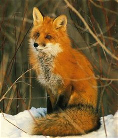 google images fox 1000 images about fox on pinterest red fox foxes and