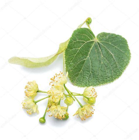 tiglio fiori ipastock tiglio fiori e foglie su fondo bianco