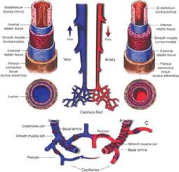 color of blood in veins molecular distinction between arteries and veins pdf