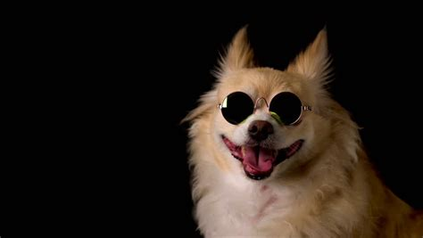 cute dog chihuahua  brown stock footage video