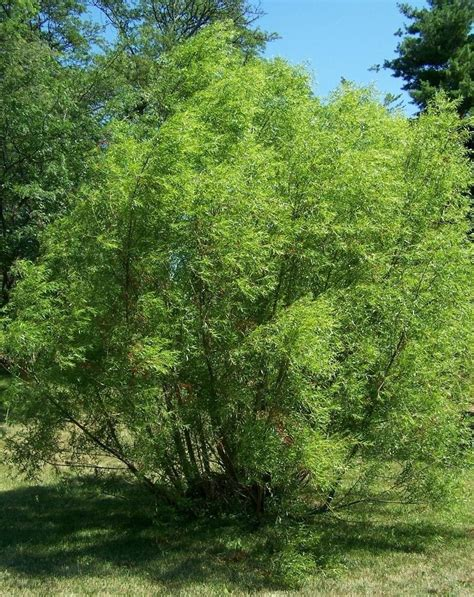 how to make aspirin from a willow tree 171 home remedies
