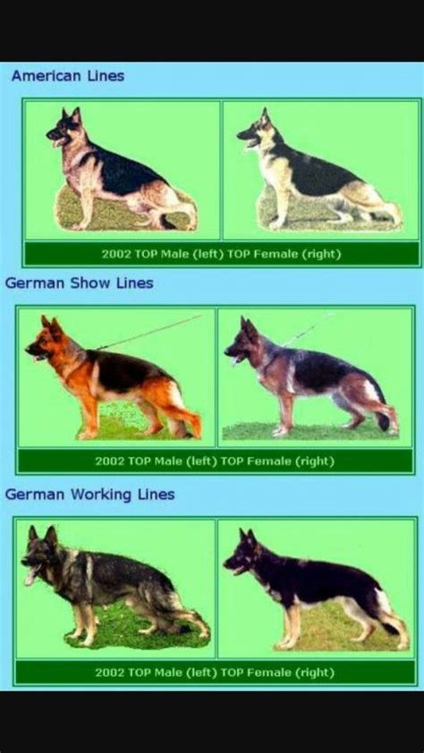 types of german shepherds 65 best images about gsd types on coats german shepherd puppies and