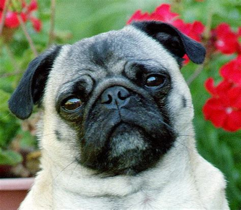 pug rescue wichita pug rescue petfinder