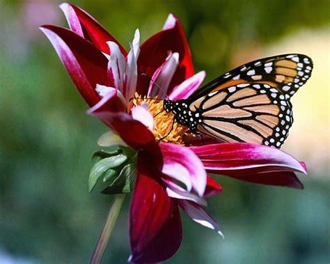 imagenes mariposas rosas reales las mejores fotos de mariposas 2018 haciendofotos com