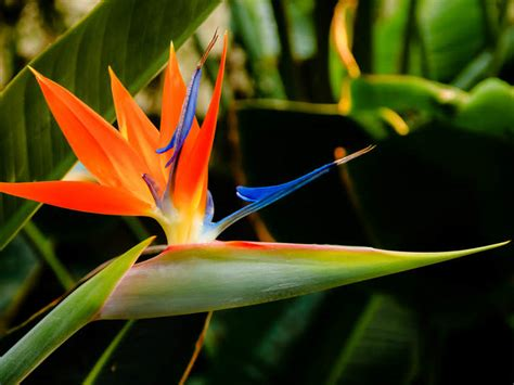 Indoor Flower Plants by Strelitzia Reginae Bird Of Paradise Flower World Of