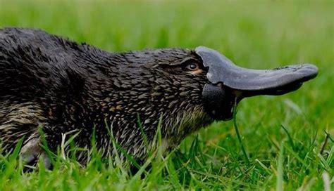 duck billed platypus venn diagram 40 best platypus images on duck billed