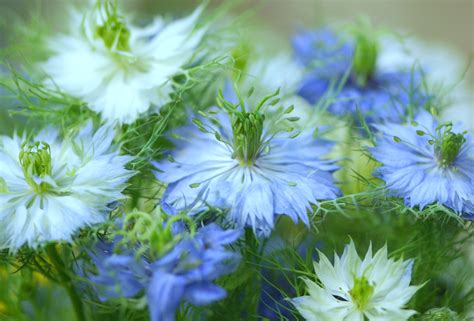 nigella love in a mist lust in the dust higgledy garden