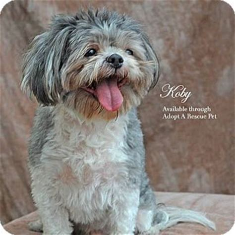 adopt a las vegas las vegas nv shih tzu meet koby a for adoption