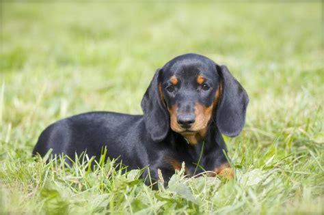 standard dachshund puppies s dachshunds standard dachshunds