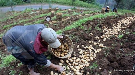 Bibit Kentang bibit unggul terbatas produksi kentang rendah