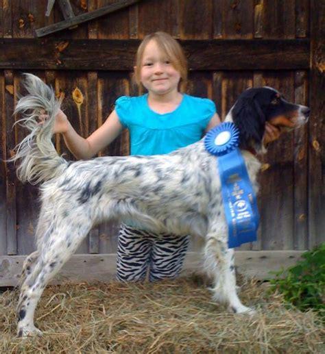 windfall farm english setters hunting dog breeders windfall farm english setters hunting dog breeders