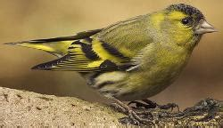 identify a siskin carduelis spinus