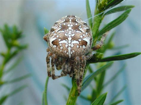 Brown Garden Spider by Brown Garden Spider A Closer Look Photography
