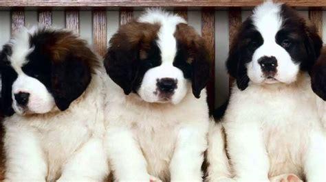 free bernard puppies how to housebreak a bernard puppy
