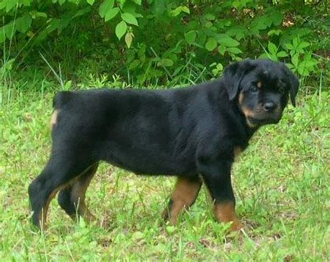 rottweiler puppies tails rottweiler the most amazing breed rottweiler names breeds picture