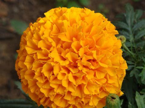 merry gold flower yalow beauty sundar dutta flickr