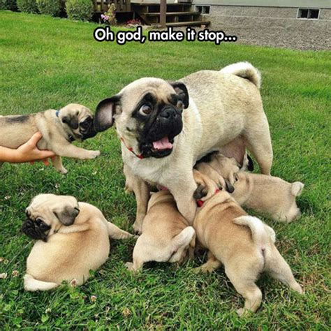 pug puppy feeding those beasts the meta picture