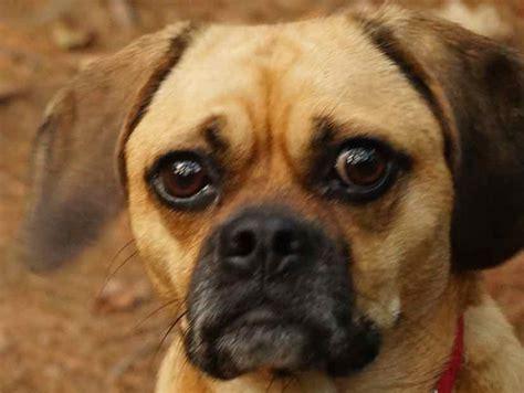 designer breeds designer dogs designer breeds hybrid dogs auto design tech