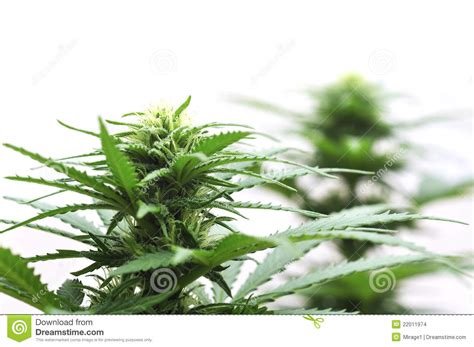 Cannabis Flower by Cannabis Flower Stock Images Image 22011974