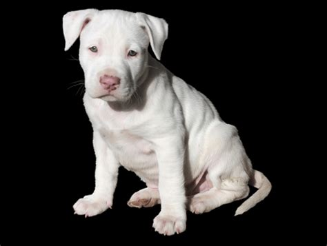 best food to feed a pitbull puppy best food for pitbull puppies 2017 comparisons and reviews