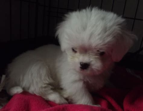 all white shih tzu puppies for sale white shih tzu puppy breeds picture
