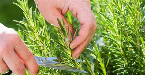 plant rosemary in your garden to solve this common pesky problem