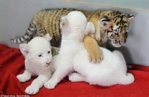 lions and tigers and nurses a nursing novella about lateral violence nursing novellas volume 1 books cubbing together white baby lions adopted by after