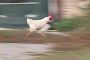 fast bid how fast does a chicken run animals me