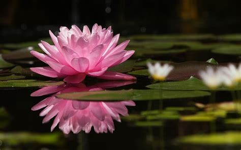 Wallpaper Flower Water | water lily wallpapers wallpaper cave