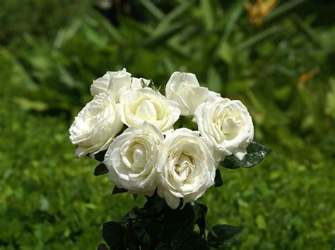 rosas hermosas fotos rosas m 225 s bellas fondos de pantalla rosas