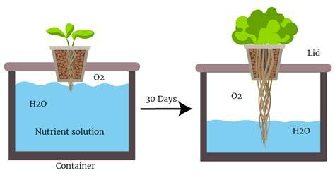 lettuce save money   hydroponics experiment