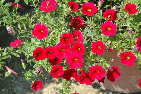 superbells red calibrachoa calibrachoa superbells red in winnipeg headingley oak bluff