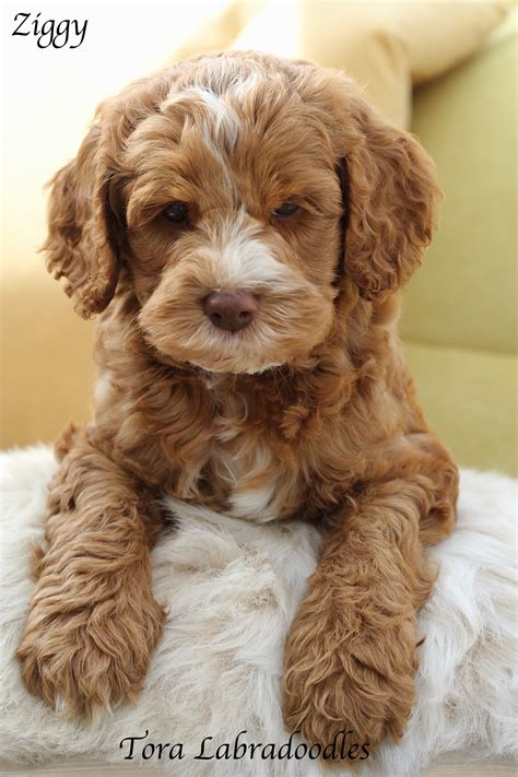 labradoodle puppy for sale labradoodles for sale tora labradoodle breeders