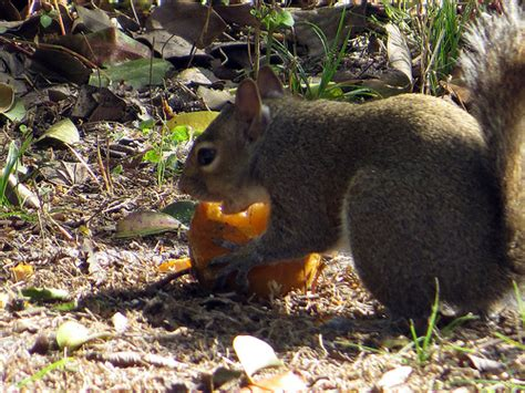 do squirrels eat oranges in my back yard yes they do